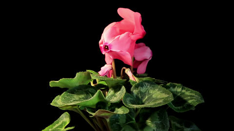 Flowering pink cyclamen on the black background (Cyclamen Latinia Premium Fuchsia flamme F1) Live Action