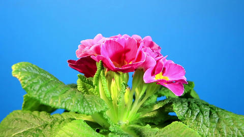 Flowering pink primula with blue chroma key (Primula... Stock Video Footage