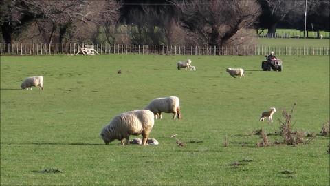 Shepherd checking his flock Footage