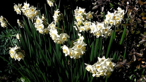 White jonquil flowers Footage