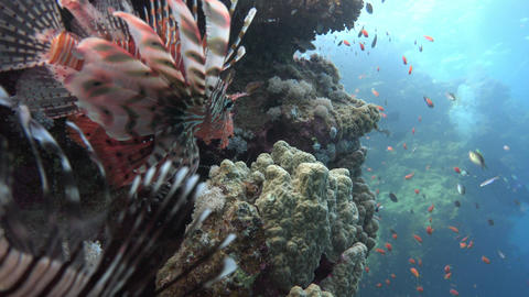 Lionfish, gracefully floating over a coral reef. Diving in the Red sea near Egyp Footage