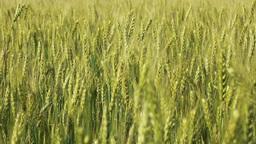 Filed of growing rye on wind Footage