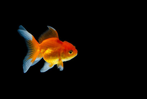 Goldfish nature beautiful fish against the dark background 001 Fotografía