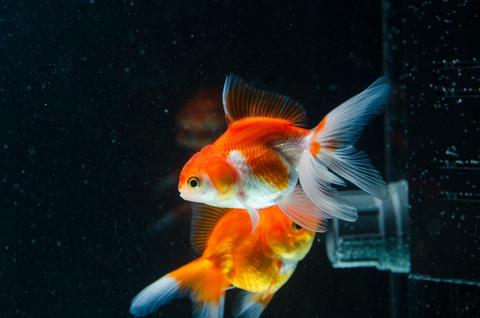 Goldfish nature beautiful fish against the dark background 006 Photo