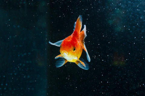 Goldfish nature beautiful fish against the dark background 009 Fotografía