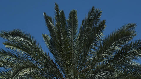 Top of palm tree with green leaves in slow motion Live Action
