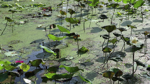 Water garden morning view. Lotus and water lily field. Cormorant dives Footage
