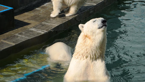 Polar bear with cubs playing in water Footage