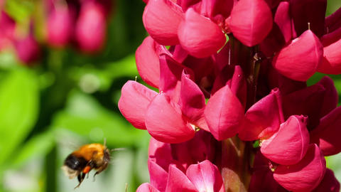Bumblebee on red lupine flower Footage