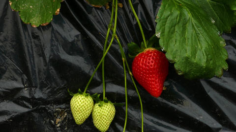Strawberry rows in greenhouse handheld Live影片