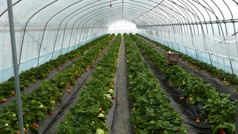 Rows of strawberries in greenhouse Live影片