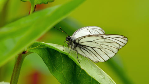 Aporia crataegi -Black-veined white butterfly- Footage