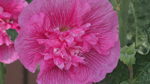 Flower Malva double pink color ビデオ