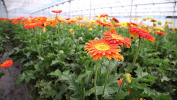production greenhouse plantation of variety of flowers, slider shot Footage