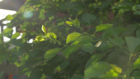 Sunbeam Leaves Closeup Footage