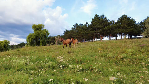 Cute young foal, brown skin, and his mother running on the green grass field near the forest in a Footage