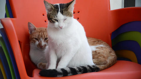 White cat and ginger cat sleeping on chair Live Action