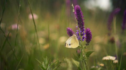 Beautiful butterfly on a purple flower. Closeup of a beautiful butterfly walking Footage