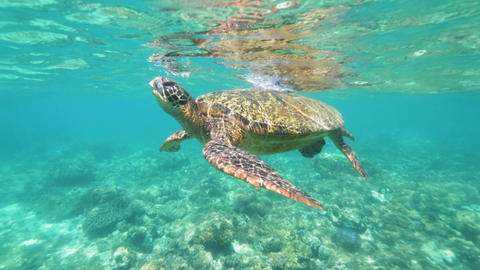 Tropical turtle swimming in crystal clear sea water. Underwater view sea turtle Footage