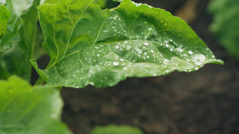 Green leaf of beet with water drops Footage