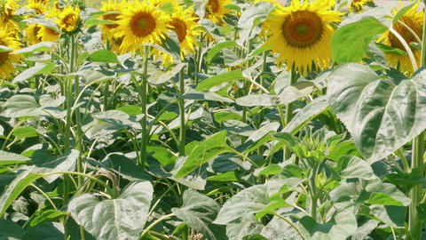 Sunflowers field at summer day, vitality, long life concept Live Action