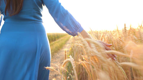 Female hand touching wheat on the field in a sunset light Footage