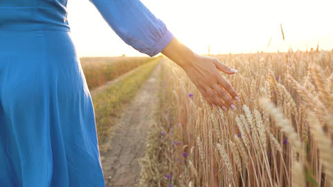 Female hand touching wheat on the field in a sunset light. Slow motion Footage