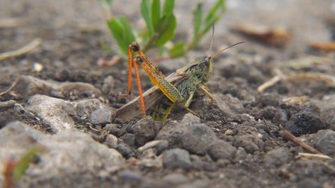 Locusts lay their eggs in ground. Macro, close-up. Locust invasion Footage