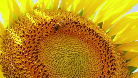 Closeup of pollinating bee on sunflower, hard work concept Footage