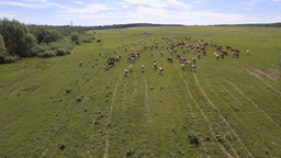 Aerial view:Cows walking along the road Footage