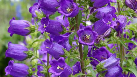 Garden flower, like a bell Footage