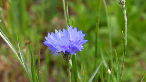 Blooming Field cornflower Footage