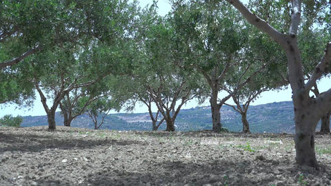 Strong wind on the plantations of olive trees. 4K Footage