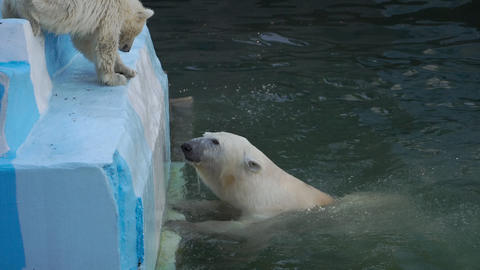 Polar bear with cub playing in water Footage
