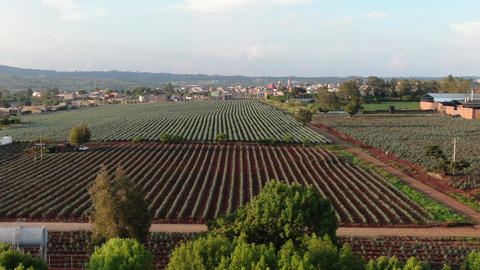 Agave field from the air Footage