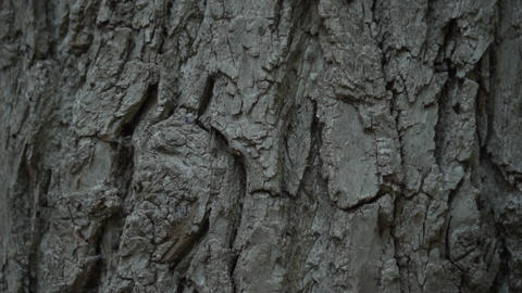 Texture of tree bark. Texture of tree bark. Tree trunk with rough bark Footage
