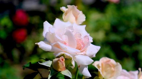 blooming rose in the garden on a summer day Acción en vivo