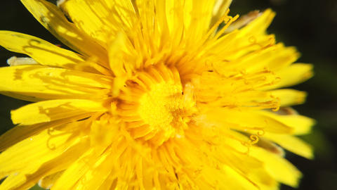Yellow dandelions on green meadow in springtime. Beautiful yellow dandelion Footage
