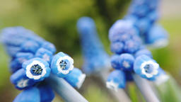 Footage of beautiful blue starch grape hyacinth flowers bloom in spring garden Footage