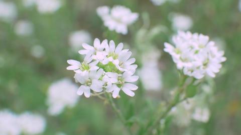 White Blossom Wildflower in Wild Field Footage