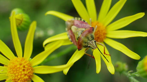 Yellow Red Beetle Sits on Yellow Flowers in Wild Field Footage