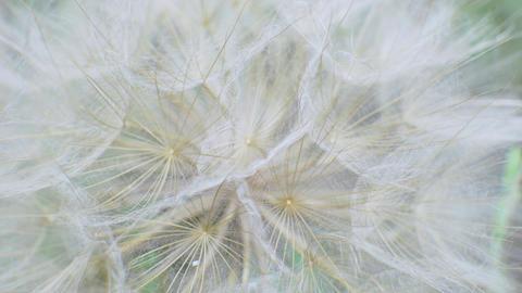 Fluffy Delicate Dandelion Seeds on Green Background in Field Footage