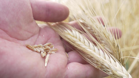 Farm Worker Hands Check for Ripeness or Disease Barley Spikelets or Rye Footage