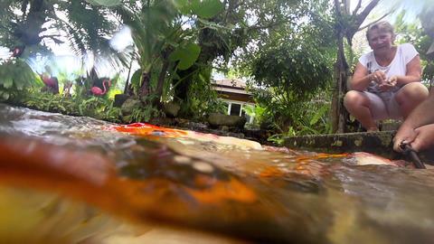 Underwater Koi fish in pond eating Footage