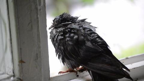 Wet dove sitting on the windowsill during the rain Footage