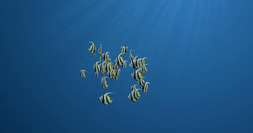 School of Butterflyfish Isolated Animation