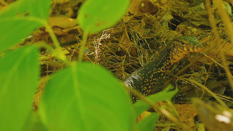 Varanus salvator macromaculatus Footage