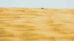 Scarab beetle in desert Live Action