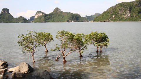 mangroves growing on the water Footage