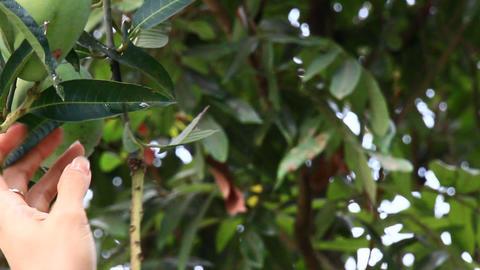 harvest mangoes on the tree Footage
